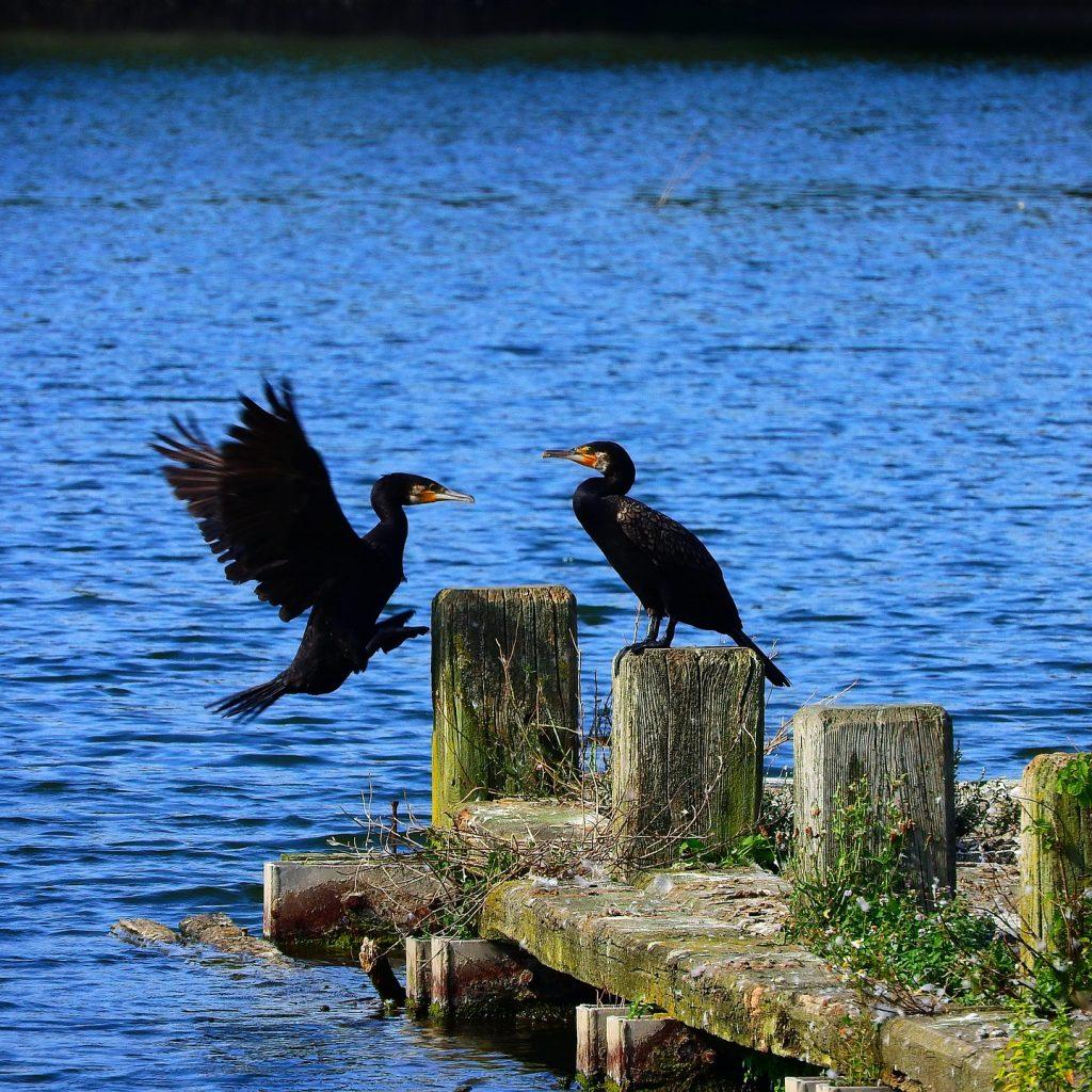 cormorant-2936106_1920